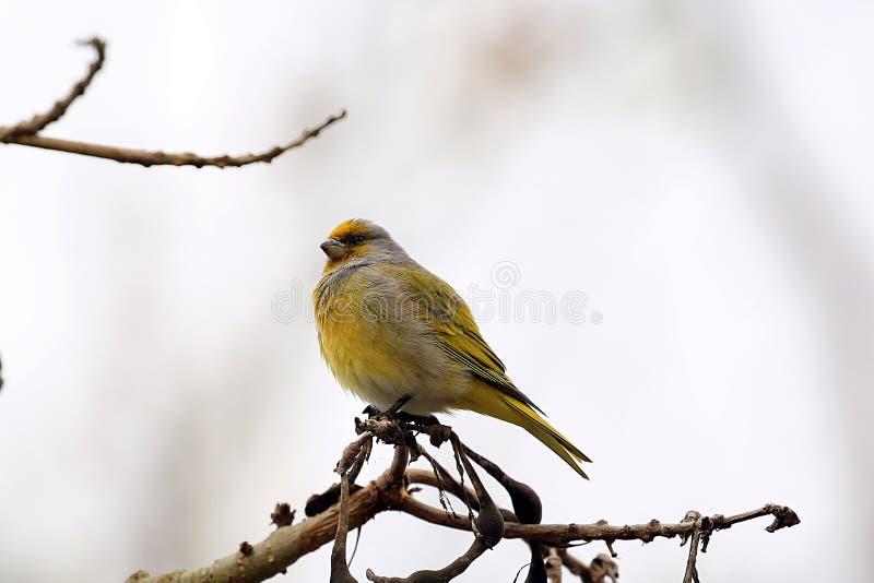 Een boze gele pluizige vogel royalty-vrije stock foto