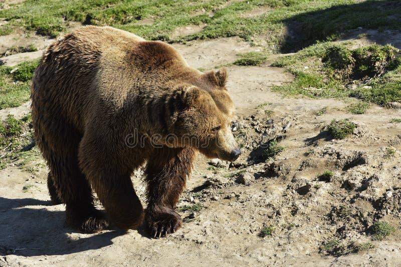 Een bruin beer mannelijk die specimen uit profiel wordt genomen Draag het liggen vol figuur royalty-vrije stock foto