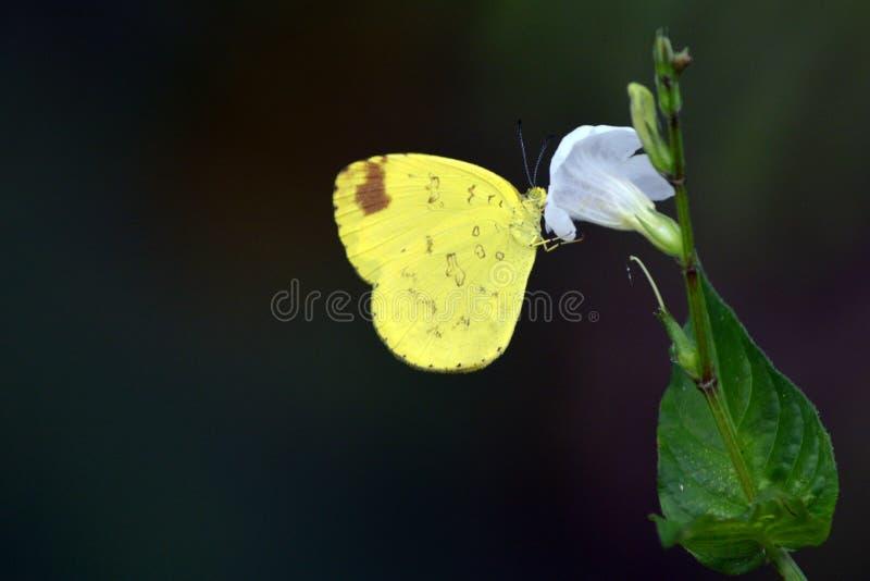 Een bruin doted slaperige oranje vlinder royalty-vrije stock fotografie