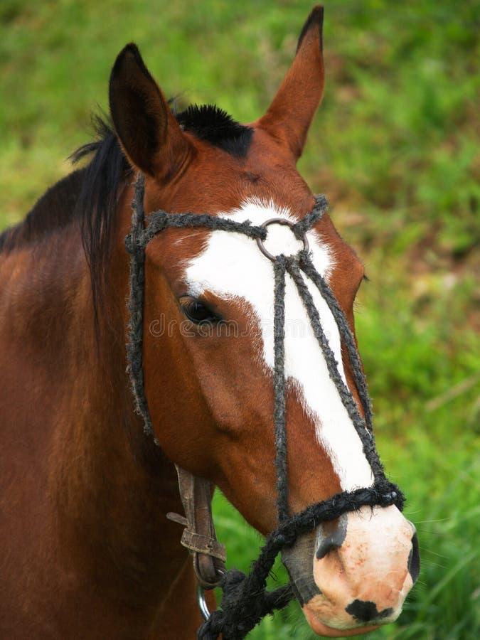 Een bruin en wit paardhoofd royalty-vrije stock fotografie