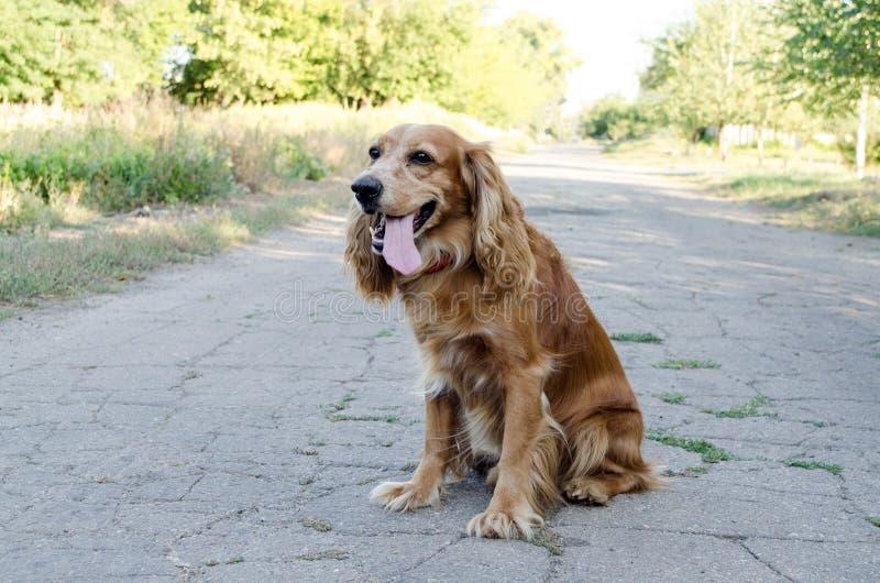 Een bruin hondspaniel zit op een weg met een open mond tegen een aardachtergrond royalty-vrije stock fotografie