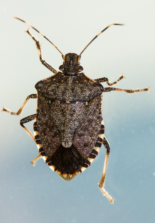Een bruin marmorated stinkt insect stock afbeelding