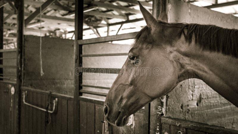 Een bruin paard in een box in een stal royalty-vrije stock afbeelding