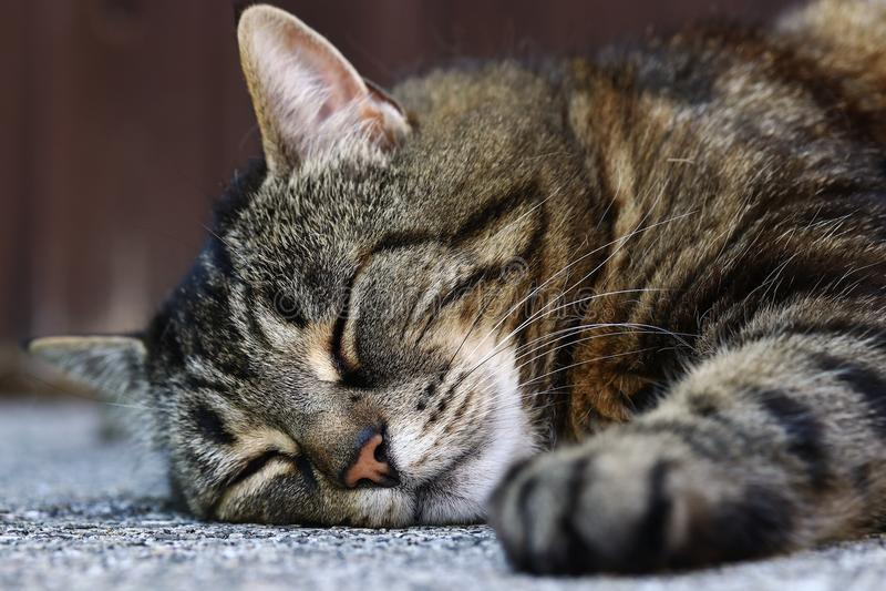 Een bruin-zwarte kat ligt ontspannen op de vloer en de slaap stock foto
