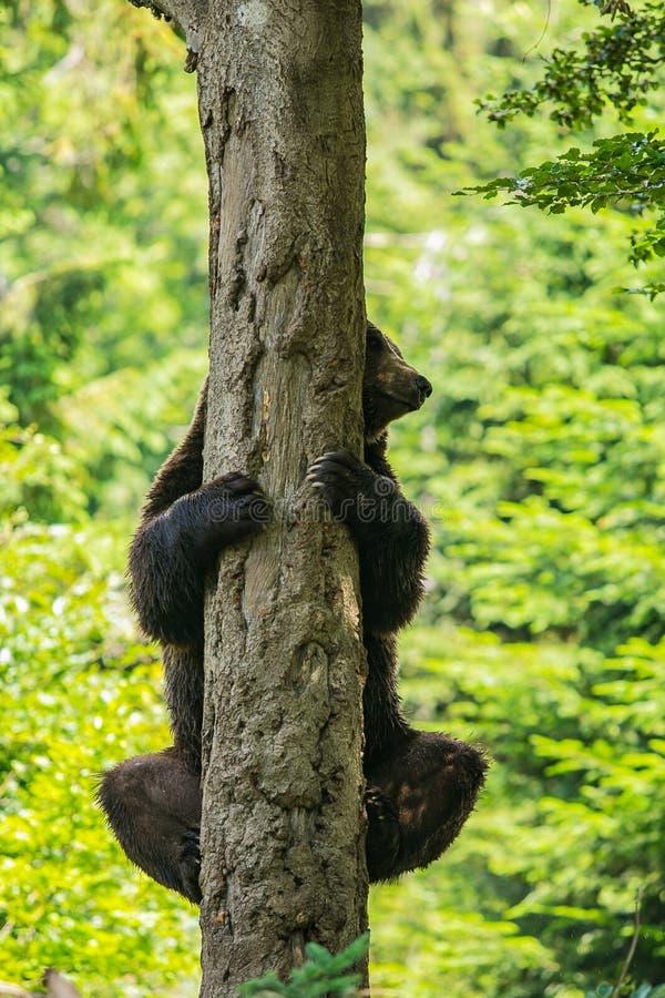Een bruine beer, Ursus-arctos, houdend op boomboomstam, die achter het gluren stock foto's