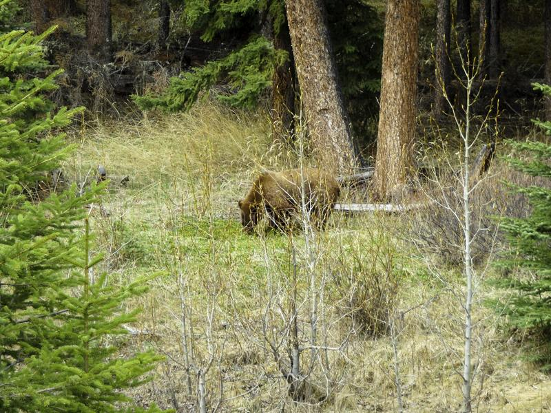 een bruine beer zoekt naar voedsel royalty-vrije stock afbeeldingen