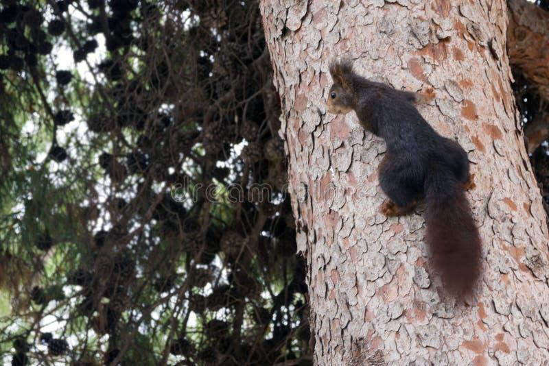Een bruine bonteekhoorn zit op een grote pijnboomboom in een park Leuk Knaagdier stock fotografie