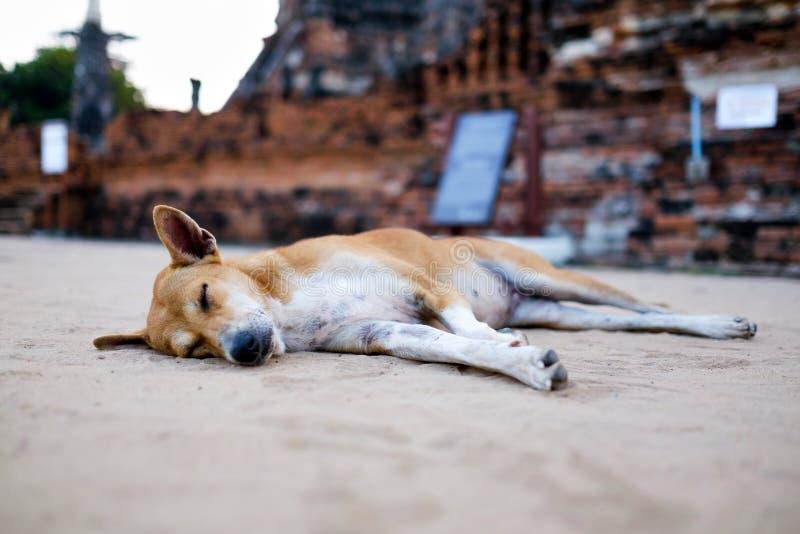 Een bruine dakloze hond slaapt op de warme vloer bij boeddhismetempel stock foto