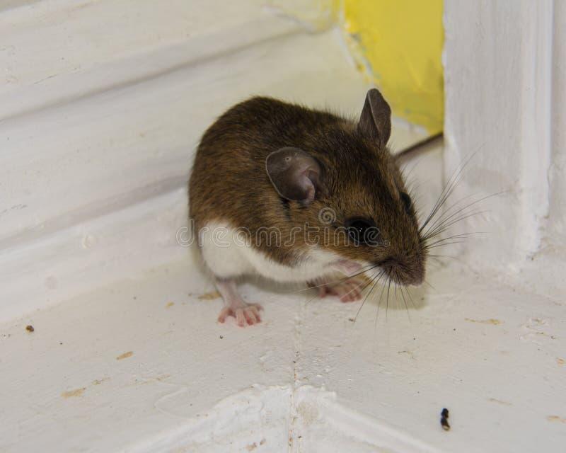 Een bruine die huismuis, Mus-musculus, in de hoek wordt opgesloten stock foto's