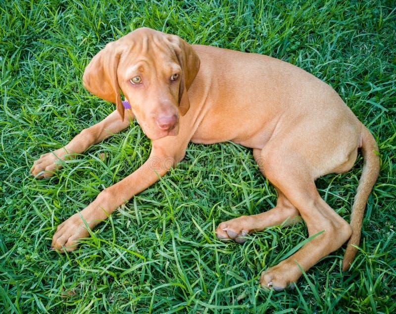 een bruine hond van puppyvizsla royalty-vrije stock afbeelding