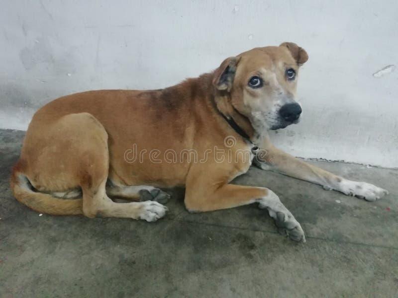 Een bruine hondslaap stil op de vloer royalty-vrije stock afbeelding