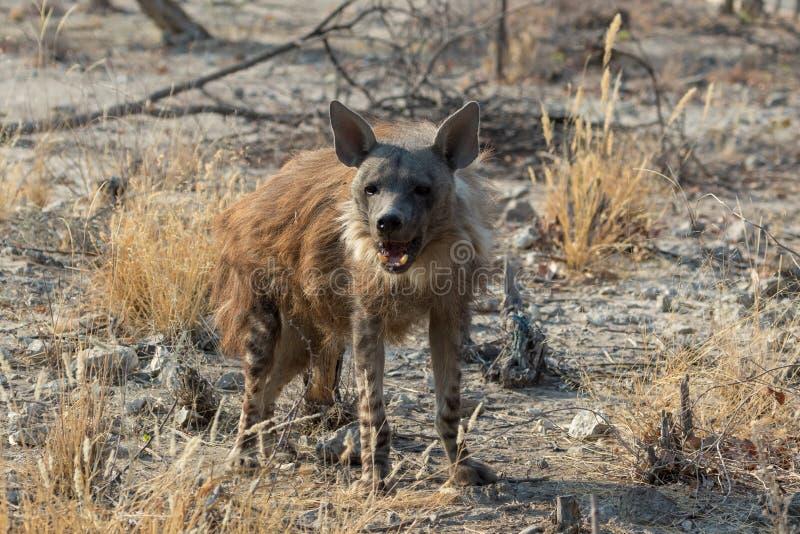 Een bruine hyena in Etosha stock afbeelding
