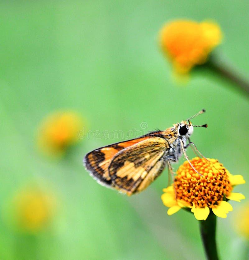 Een bruine kapiteinsvlinder op gele bloem royalty-vrije stock fotografie