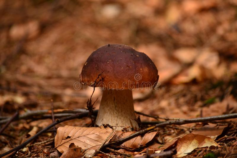 Een bruine paddestoel in de bladeren van beuk royalty-vrije stock fotografie