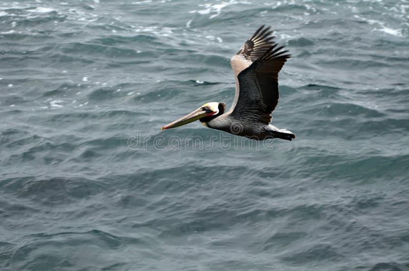 Een bruine pelikaan vliegt over donkere turkooise oceaan royalty-vrije stock foto's