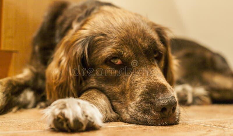 Een bruine pluizige hond die op de vloer liggen die vermoeid kijken stock foto's