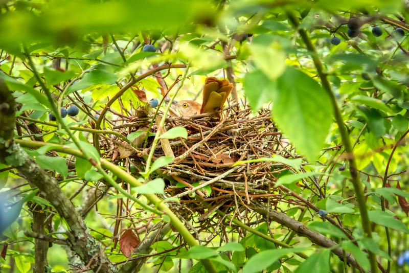 Een bruine thrasher op een nest in een bosbessenstruik royalty-vrije stock afbeelding