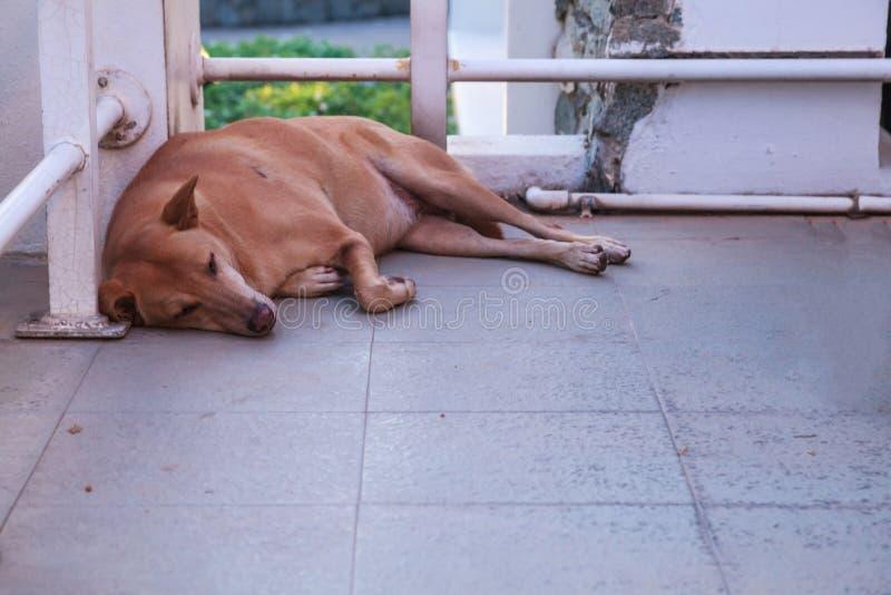 Een bruine verdwaalde slaap van de straathond op de vloer bij de hoek van de bouw Dierlijke Schenkingscampagne, Bescherming, Goed stock fotografie