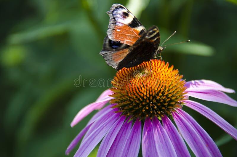 Een bruine vlinder zit op een heldere echinaceabloem stock foto's