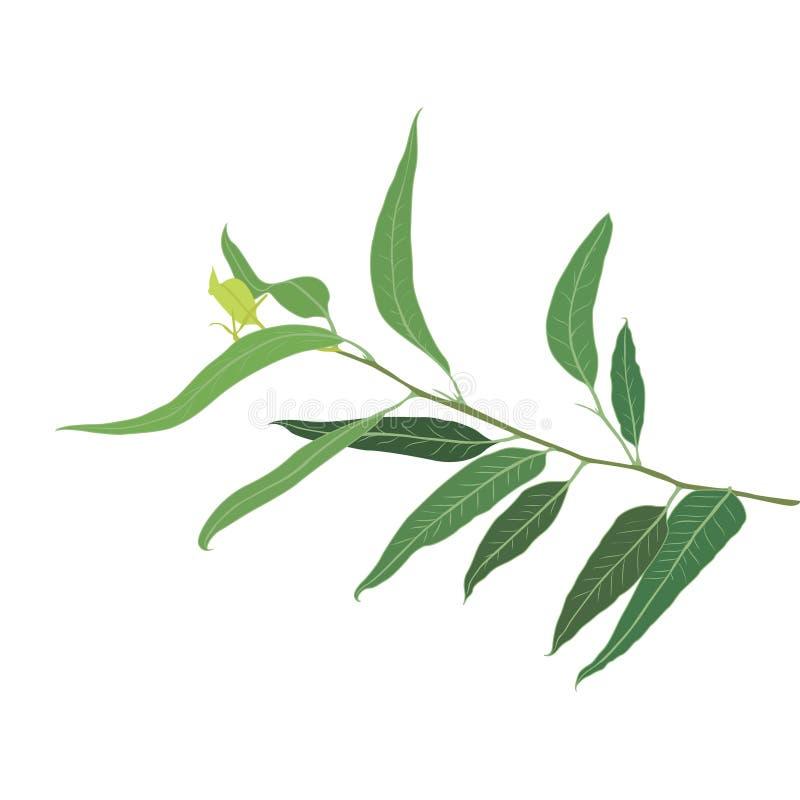 Een brunch van Eucalyptus stock illustratie