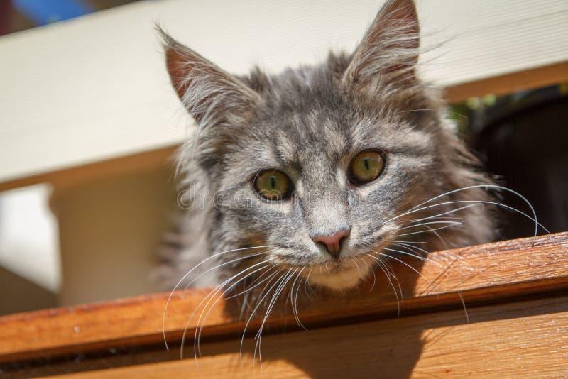 Het Gezicht van de Kat van de gestreepte kat stock foto