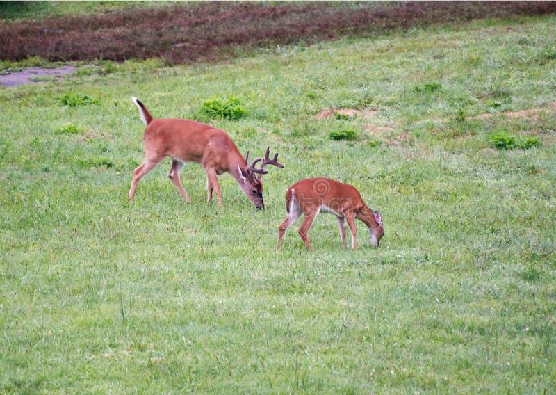 Een buck en een doe grazing stock fotografie