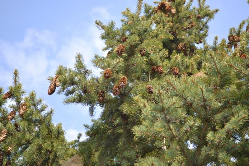 Een buil op de boom stock fotografie