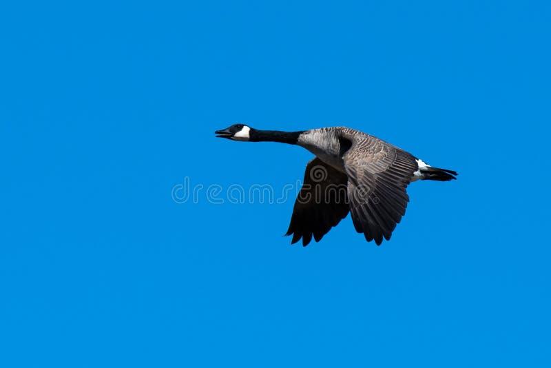 Een Canadese gans die zijn vleugels tijdens de vlucht naar boven vliegt stock foto's