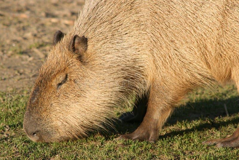Een capybara weidt in een dierentuin in Frankrijk stock fotografie