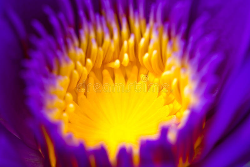 Een centrumdeel van Purpere Lotus Flower Closeup royalty-vrije stock afbeelding