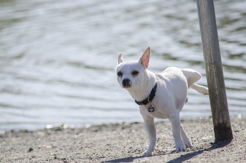 Een Chihuahua plast op een pool royalty-vrije stock afbeeldingen