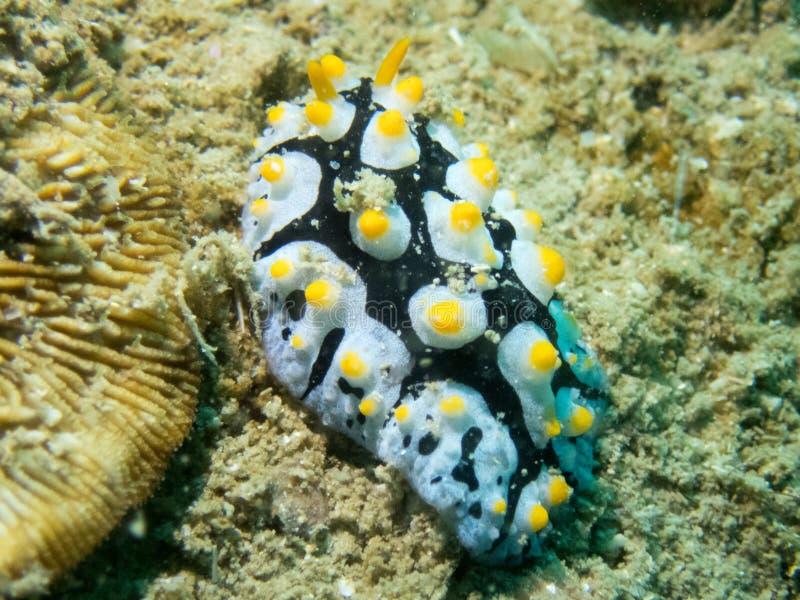 Een Chromodorid Nudibranch, Risbecia-godeffroyana Uepi, Solomon Islands stock afbeeldingen