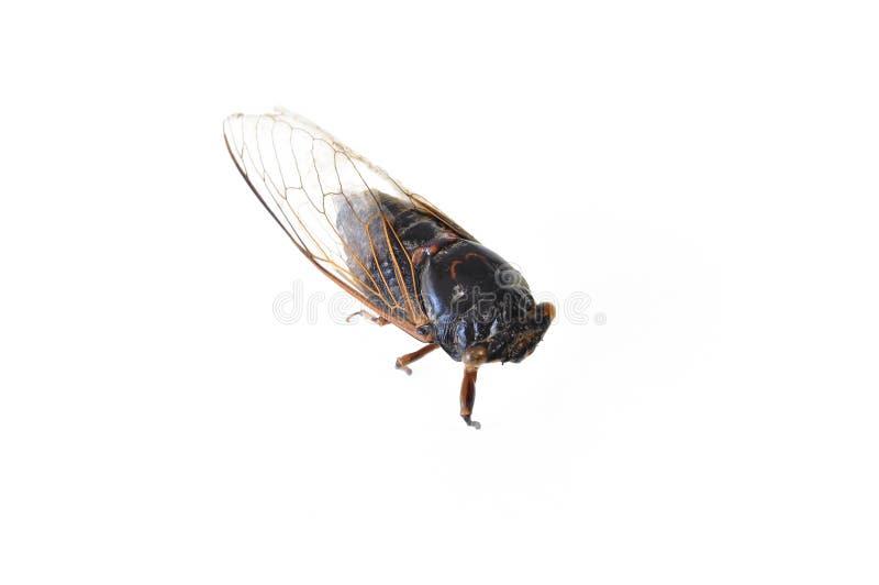 Een Cicade op witte achtergrond wordt geïsoleerd die royalty-vrije stock afbeelding