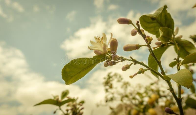 Een citroenboom in bloei royalty-vrije stock afbeeldingen