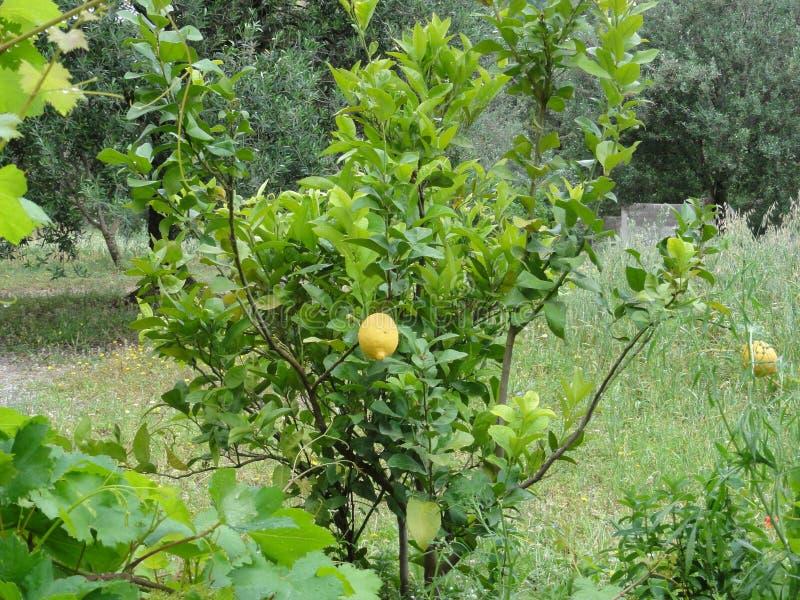 Een citroenboom - vooraanzicht royalty-vrije stock afbeeldingen