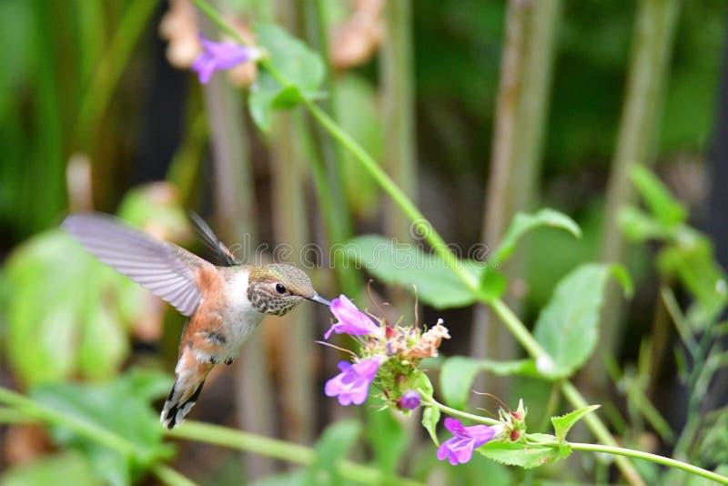 Een close-up die van Rufous kolibrie dichtbij de bloemen hangen stock afbeeldingen