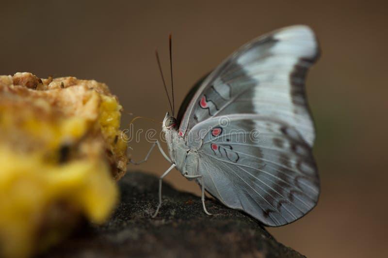 Een close-up die van Schoonheidsvlinder op grond, Vlinder rusten van Thailand stock fotografie