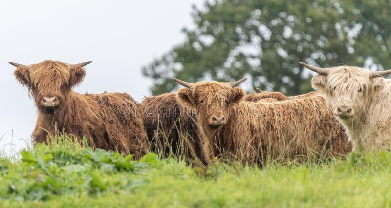 Een close-up foto van een kudde Highland Cows stock afbeelding