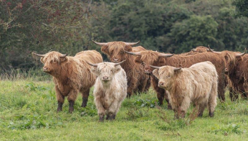 Een close-up foto van een kudde Highland Cows stock foto