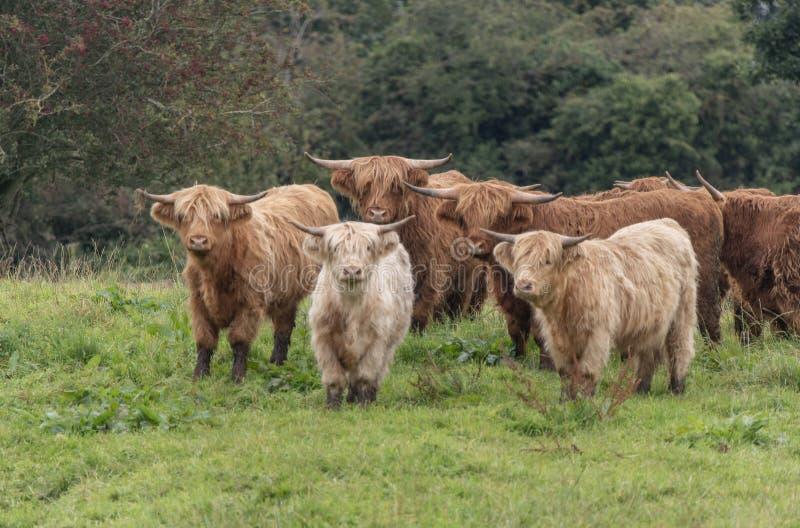 Een close-up foto van een kudde Highland Cows stock afbeeldingen