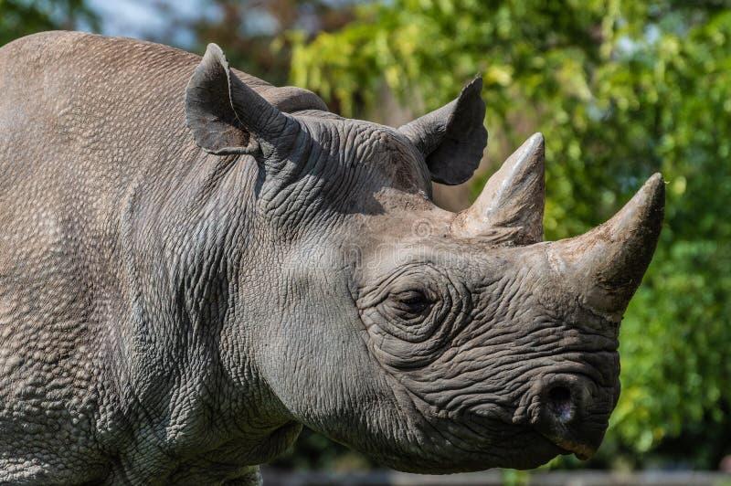 Een close-up headshot van een zwarte rinoceros in gevangenschap stock afbeeldingen