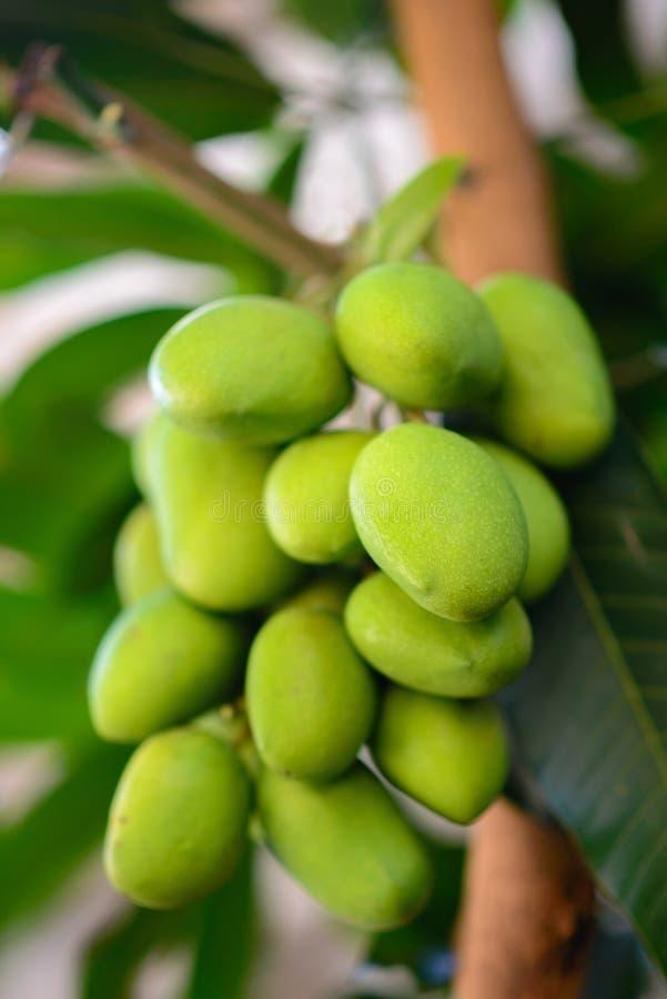 Een close-up shot van een stel mango dat nog steeds groene huid heeft royalty-vrije stock foto's
