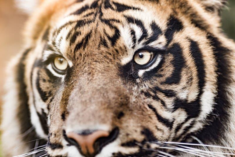 Een close-up van de tijger, grootste katachtig royalty-vrije stock foto's