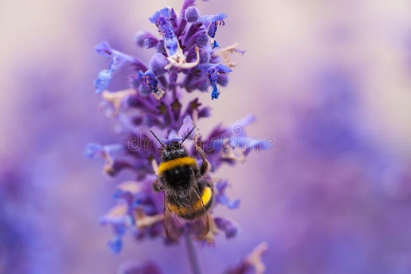 Een close-up van een de zomerhommel die stuifmeel van purple verzamelen stock foto's