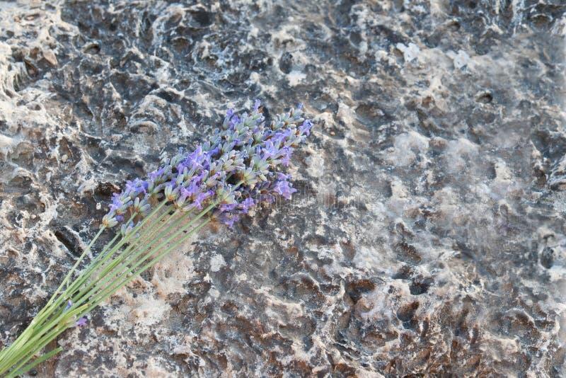 Een close-up van een lavendel op een steen royalty-vrije stock afbeelding