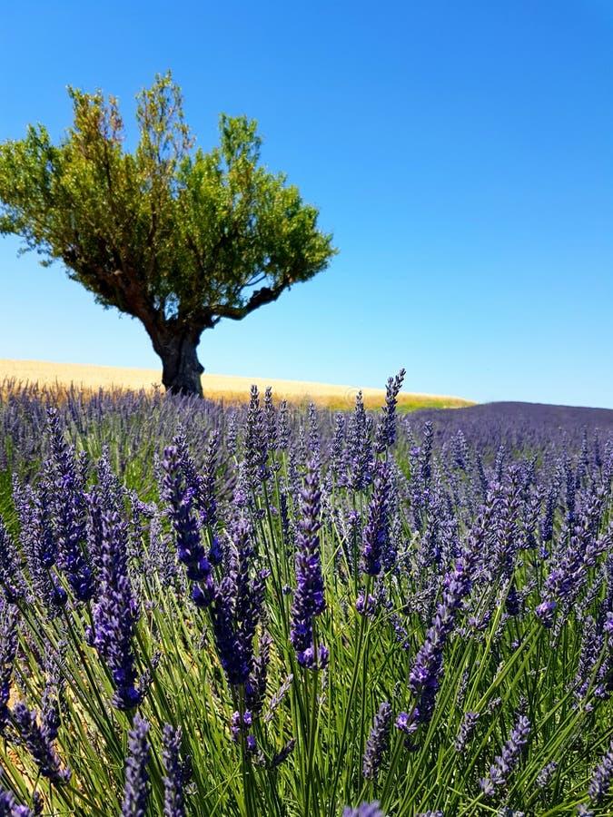 Een close-up van een Lavendelinstallatie met een olijfboom en een gebied van tarwe op de achtergrond royalty-vrije stock afbeelding