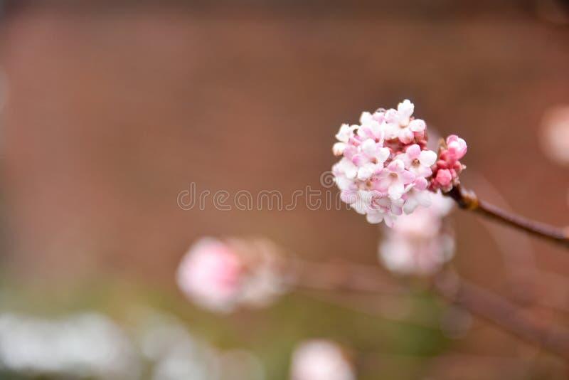 Een close-up van het roze bloesem groeien in overvloed tegen een zachte bruine natuurlijke achtergrond royalty-vrije stock fotografie