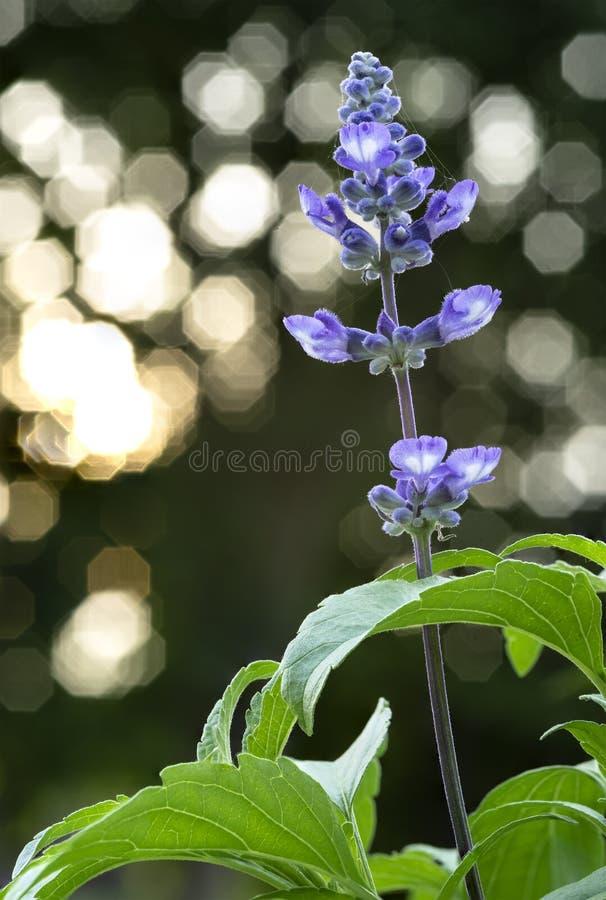 Een Close-up van Lavendel met Achthoekige Lichte Bokeh bij Achtergrond wordt geschoten die stock foto's