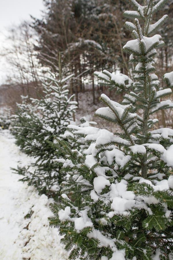 Een close-up van een pijnboomboom tijdens de winter stock foto