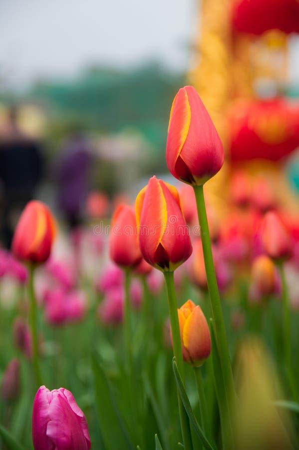 Een close-up van rode Tulpen stock foto